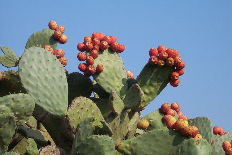 Nopal ingr dient de la cuisine mexicaine - Comment manger une figue de barbarie ...