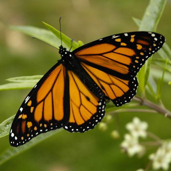 http://www.decouvertedumexique.com/images-articles/papillon-monarque.jpg